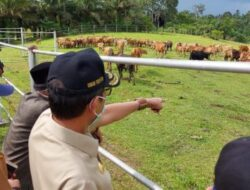 PeternakanSapi UPTD Air Runding Terus Berkembang